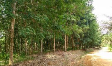 9.000 Hektare Kebun Karet di Batanghari Diserang Jamur