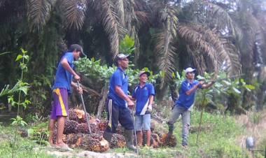Soal Replanting Sawit di Muarojambi, Ini Kendala Pihak Pemkab