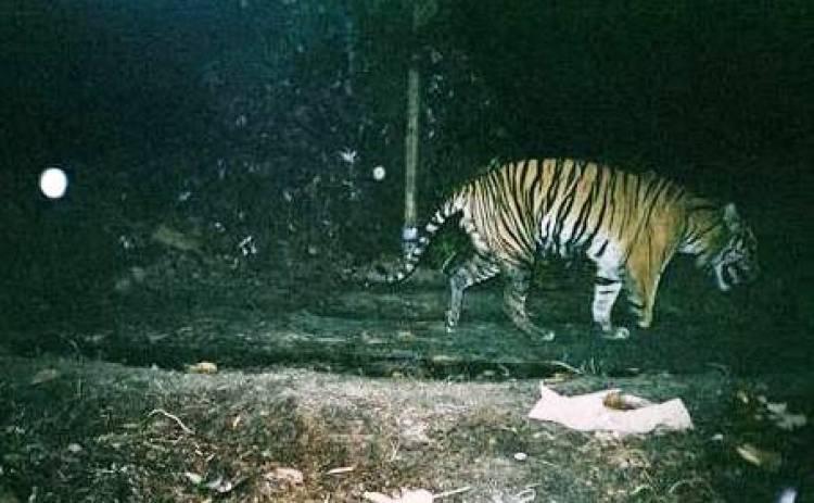 Lagi, Warga Kerinci Digegerkan dengan Kemunculan Harimau Sumatera di Hutan Desa