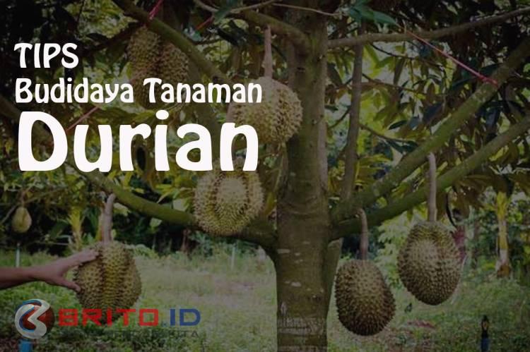 cara budidaya tanaman durian agar cepat berbuah brito idcara budidaya tanaman durian agar cepat berbuah