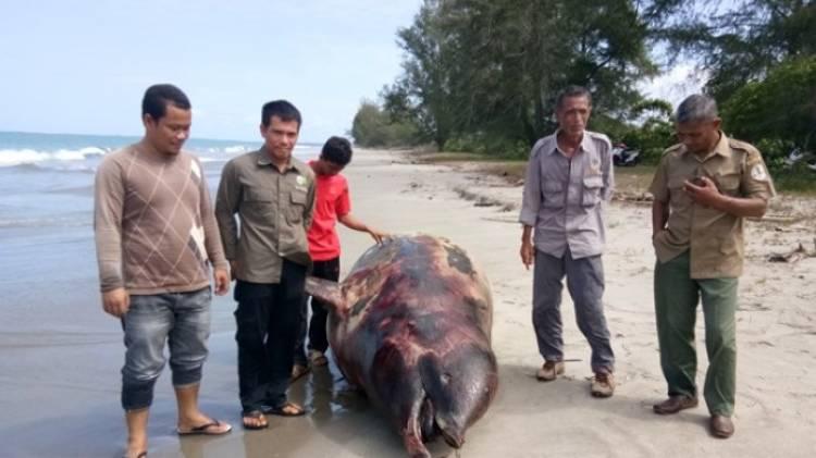 Lumba-lumba Membusuk Ditemukan di Perairan Singkil Aceh