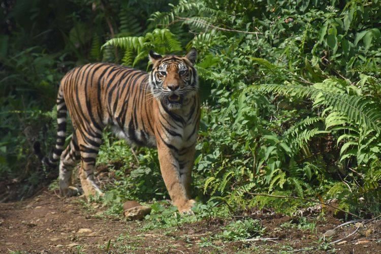 Polisi Jambi Kejar Jaringan Sindikat Pelaku Perdagangan Harimau Sumatera