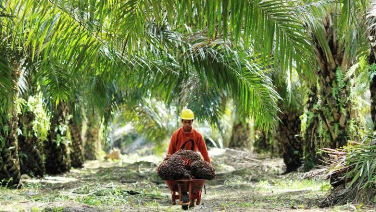 Pemerintah Pusat Targetkan Replanting 5,6 Juta Hektare Sawit, Jambi Salah Satu Prioritas