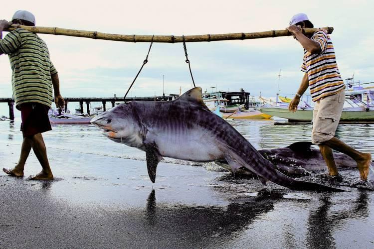 Ngeri!! Perburuan Hiu Dilindungi Kian Masif di Aceh