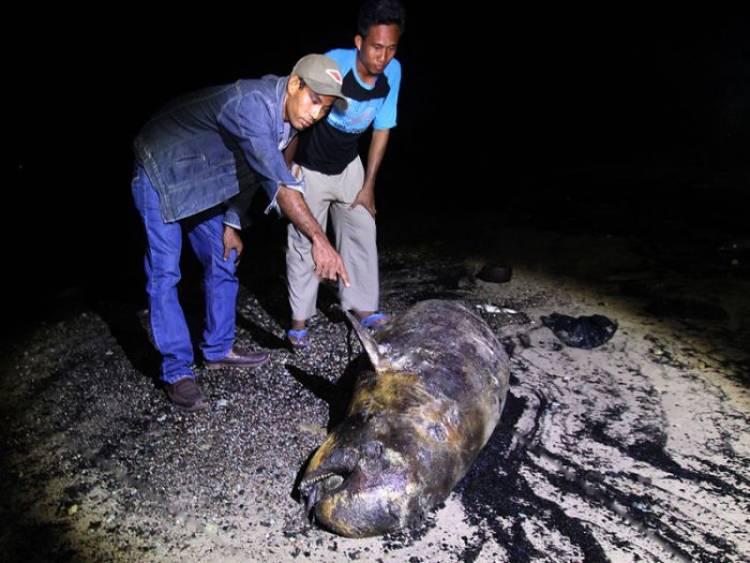 Pakar Kelautan Ragukan Mamalia Langka Dugong Mati di Riau Itu