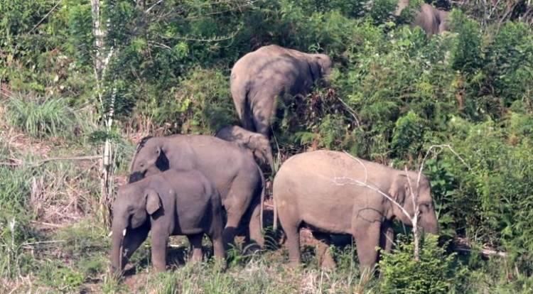 32 Gajah Liar Mengamuk Rusak Belasan Hektare Kebun