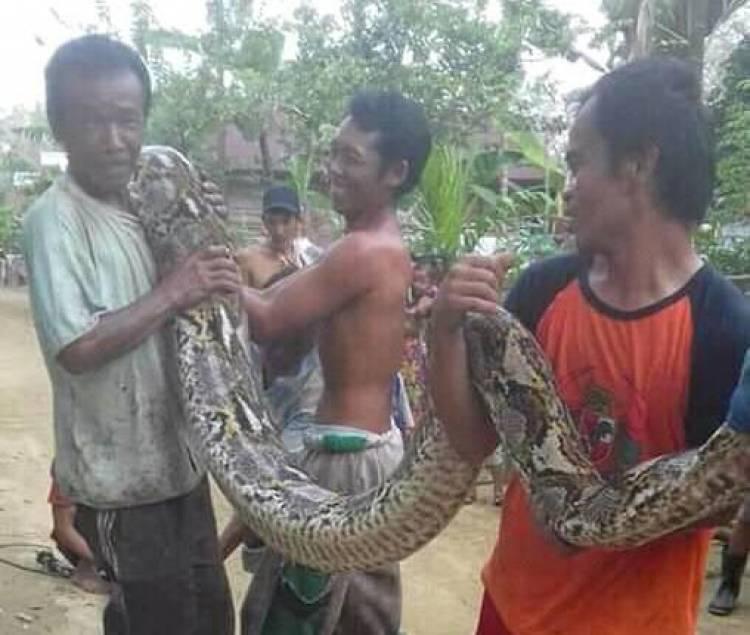 Geger Ular Piton 15 Meter Ditangkap Warga Bungo