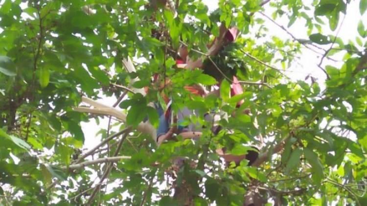 Siswa SDN 65 Tebo Tewas Kesetrum di Pohon Jengkol