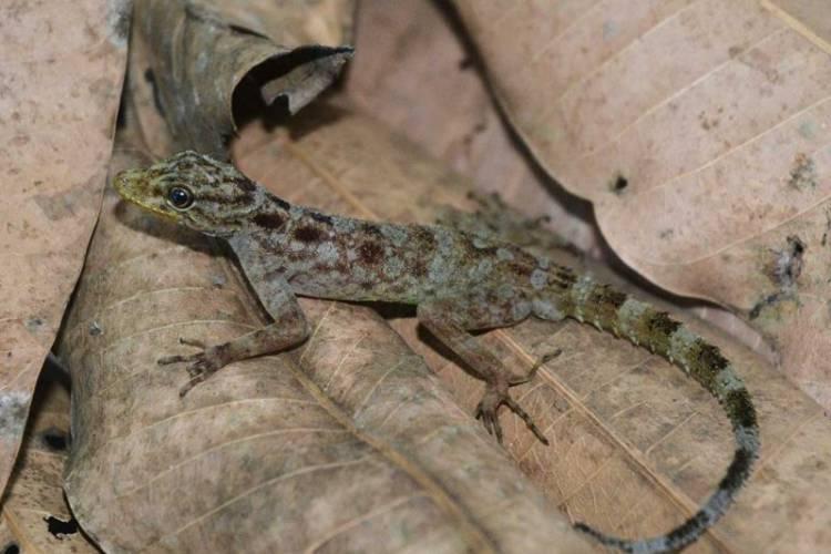 Cecak Spesies Baru Ditemukan di Gunung Muria
