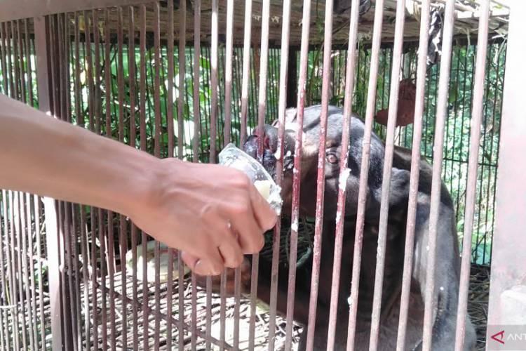 Beruang Madu Kurus Viral, Begini Kata Pengelola Sinka Zoo