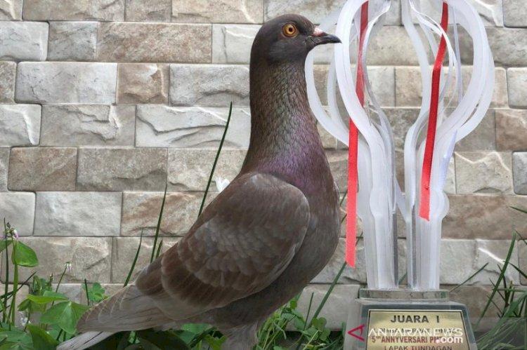Ini Dia Burung Merpati Warga Bandung Terjual Harga Rp1 Miliar