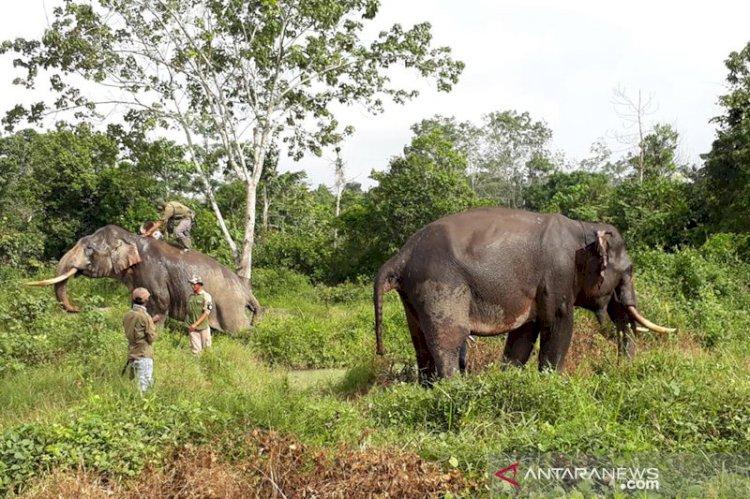 11 Ekor Gajah Liar Sambangi Pemukiman Warga Kampar