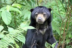 Beruang di Kebun Karet, Warga Tebo Resah