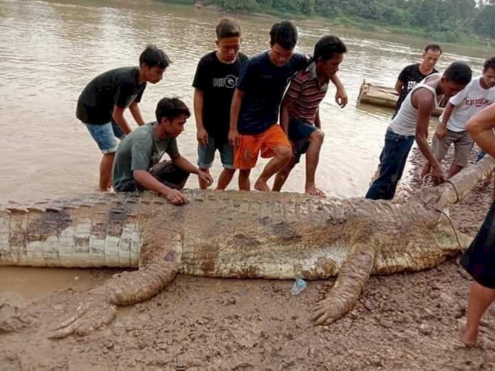 Buaya Raksasa 6 Meter dan Ganas Ditangkap Warga Tebo
