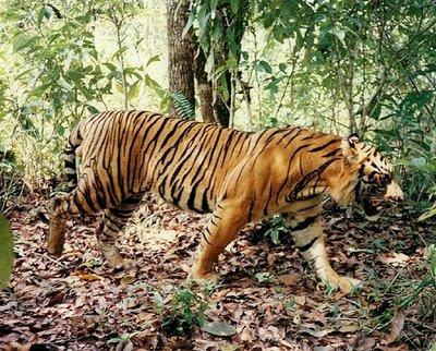 Warga Bungo Panik, Harimau Berkeliaran di Hutan Dekat Pemukiman
